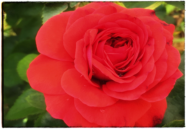 How Do I Deal With Rejection? A Simple Rose Taught Me